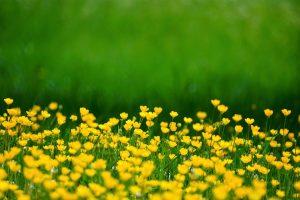 buttercup, flowers, meadow